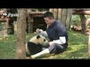 かまってほしい❤赤ちゃんパンダが飼育員さんにオジャマ抱きつき攻撃❤ Baby panda hugs.mp4