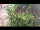 малина сорт кумберленд
