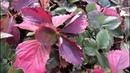 Бурая пятнистость, или ожог листьев садовой клубники. Как предупредить заболевание??