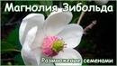 Магнолия Зибольда размножение семенами стратификация и посадка