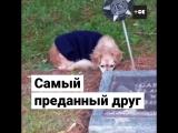 Собака на могиле умершей хозяйки