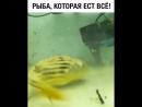 рыба жрёт всё что ей кинешь