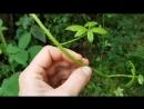 🧐👉Как употреблять полезные стебли ежевики