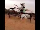 Лошадь танцует под нашид