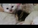 Котята и утята смотреть видео прикол -