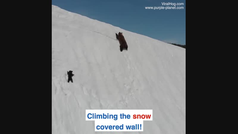 This bear cub's perseverance proves that you only fail when you stop trying