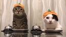 СМЕШНЫЕ ЖИВОТНЫЕ Дрессированные коты, кот- вегитарианец, танцующие собаки, плавающий кот Сфинкс 2018