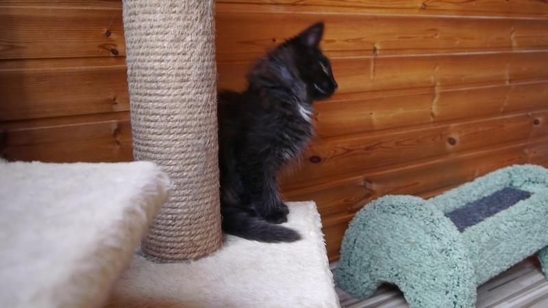 Норвежский лесной котенок Uran On Fashion Peak, 2,5 месяца