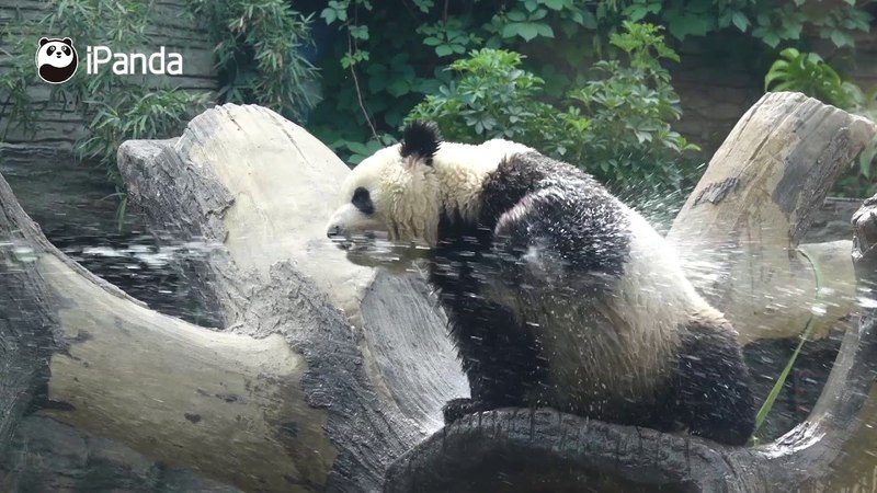 Let Panda Meng Lan Show You How To Have Fun With Water iPanda