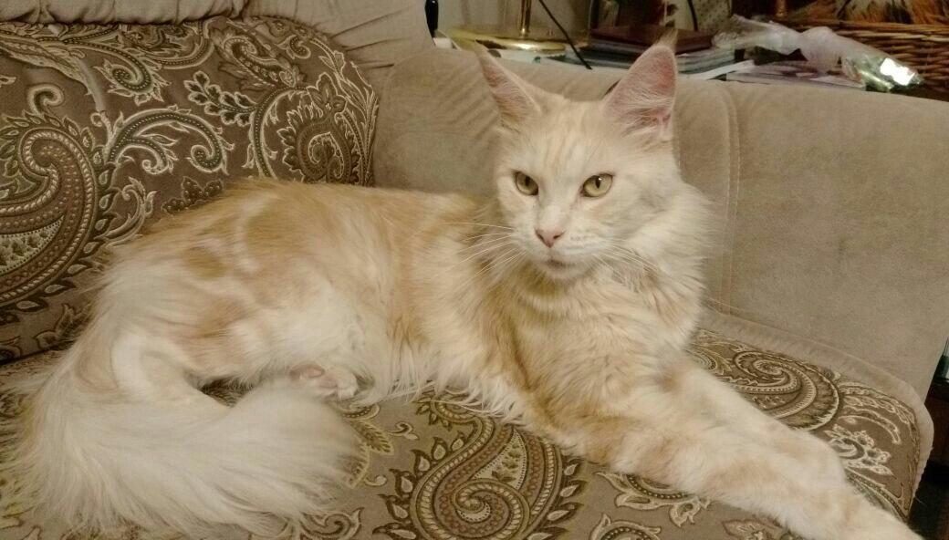 МейнКун кошки в добрые руки NofJJ-d8V2E