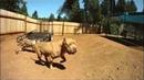 Питбуль самая сильная бойцовская собака