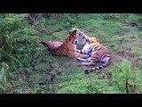 История двух тигров. Путь домой.