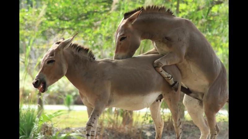 Horny Donkey trying to score at Miami Zoo