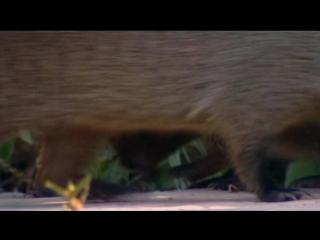 BBC «Полосатые братья: Банда мангустов» (7 серия) (Документальный, природа, животные, 2009)