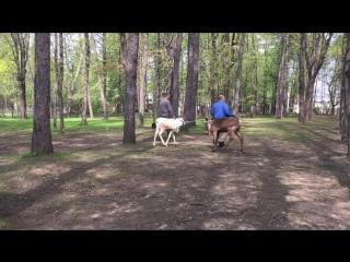 Олень и лось в парке Сокольники