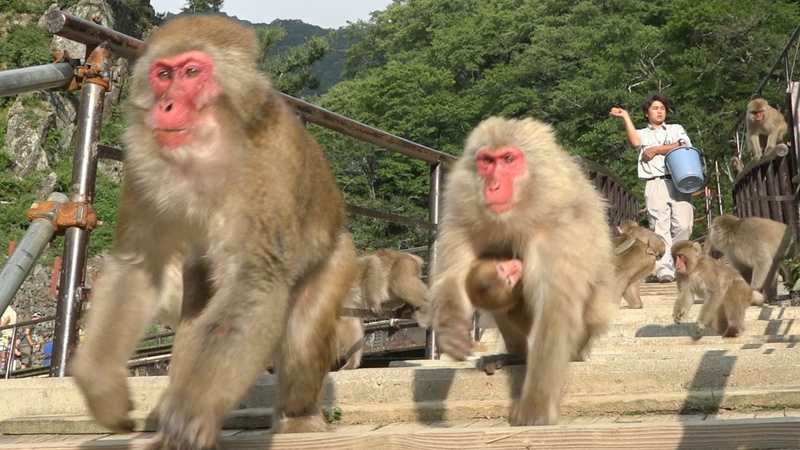 【SNOW MONKEY】ニホンザル 地獄谷野猿公苑 ☆Time for Dinner 2☆ リンゴ餌やり