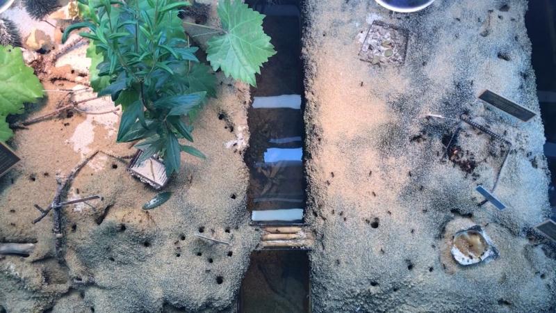 Островные муравьи Myrmicaria brunnea на охоте