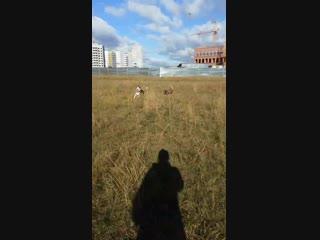 Сибирский хаски. дрессировка собак. Ульяновск. китайская хохлатая