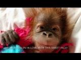 Как выглядит новорожденный орангутан   Красная книга