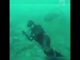 Громадная белая акула попыталась откусить голосу дайверу