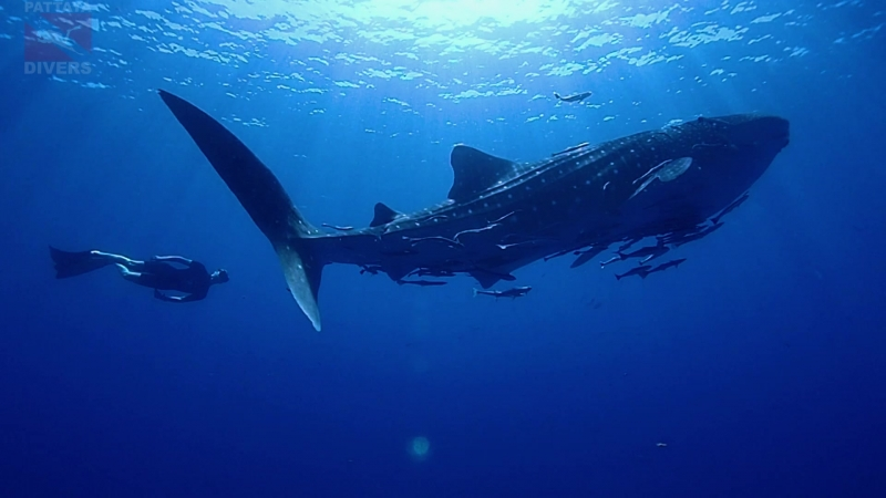 Китовая акула на дайвсайте Chang Wreck острова Ко-Чанг   Дайвинг в Таиланде