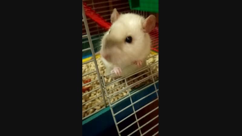 Крысяо хомячит 🥜