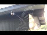 Паучок плетёт паутинку.Занимательно)