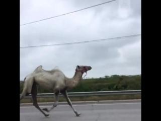 Верблюд на трассе в Тульской области