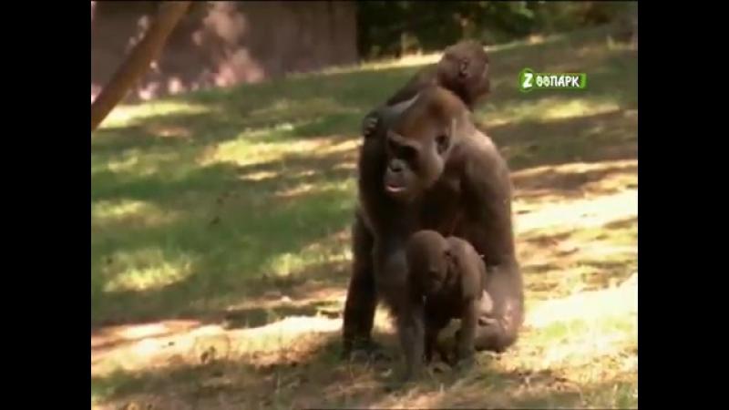Путешествие в животный мир. Высшие обезьяны кто они
