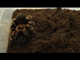 Птицеед+мадагаскарский таракан