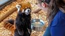 エイタの屋内お食事模様 red panda EITA
