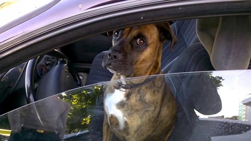 Собака за рулем Менты остановили собаку за превышение Неадекватный водитель