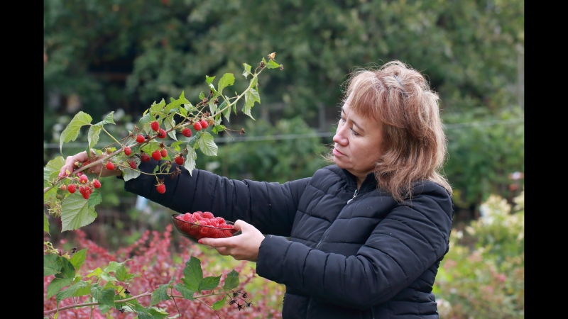 Ремонтантная малина Карамелька. Собираем сладкие ягоды до снега