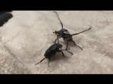 эпичная драка жуков