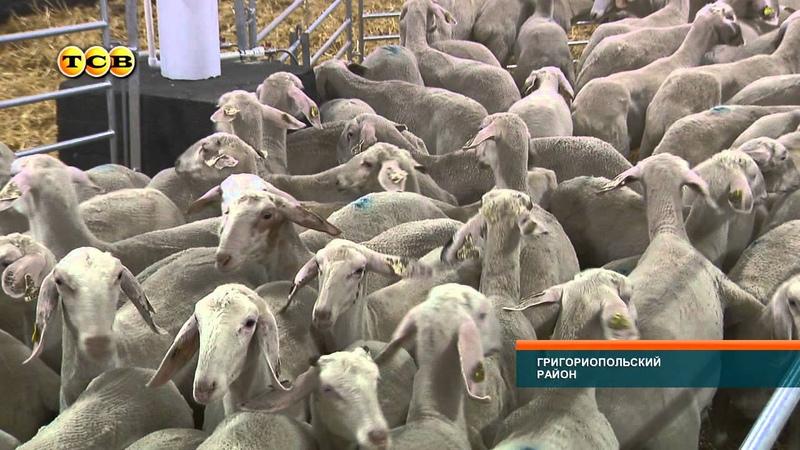 В Приднестровье будут выращивать овец испанской породы Ассаф