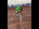 ученый попугай