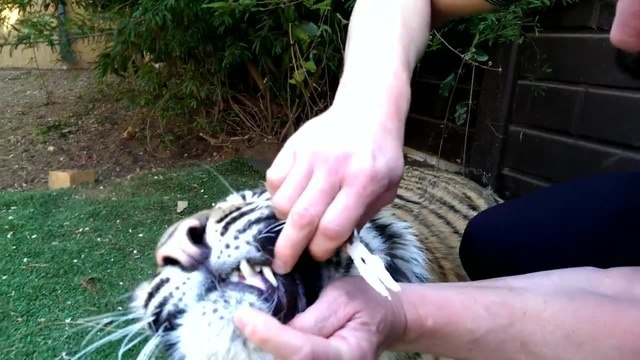 Tiger gets a tooth pulled
