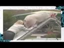 Дрессированная свинья и ее хозяйка на конкурсе!Лучие приколы про животных!