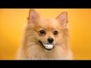 Pedigree Denta Stix Реклама чистки зубов для собак