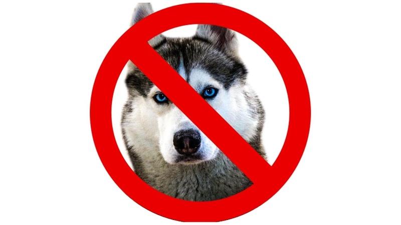 20 ПРИЧИН НЕ ЗАВОДИТЬ ХАСКИ Говорящая собака Хаски Бандит