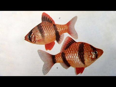 Барбус суматранский (Puntigrus tetrazona) - Аквариумные тропические рыбы № 12