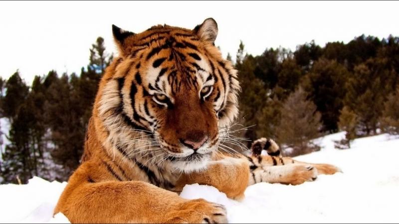Shere.Khan - Siberian Tiger Tribute
