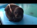 Милый морской котик VIDEO ВАРЕНЬЕ