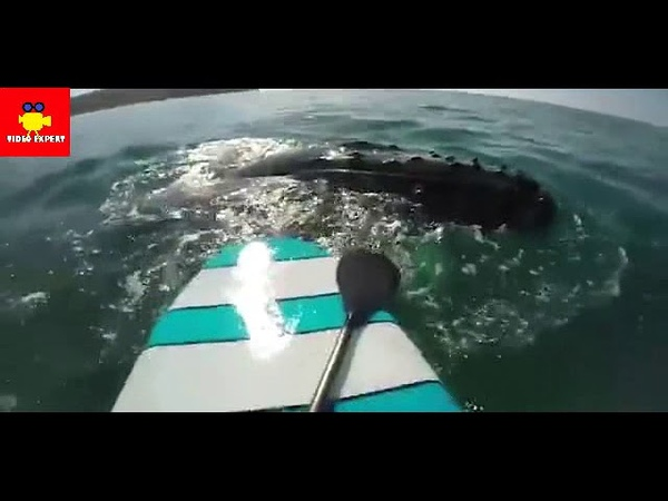Breathtaking Moment WHALE bumps into a stand up paddle boarder