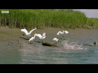 Dolphins and Birds Collaborate to Hunt Fish. BBC Earth