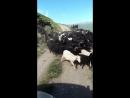 Овцы по дороге через Сирх, Джилы-Су