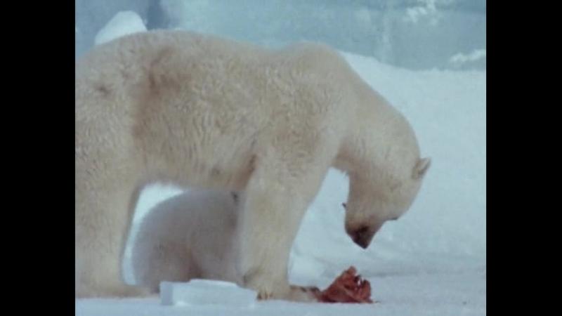 10. Белый медведь Перси