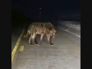 Самый страшный и большой волк в Азербайджане,о нем ходят легенды. Азербайджан Azerbaijan Azerbaycan БАКУ BAKU BAKI Карабах 2018