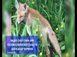 К новосибирцам в Маслянинском районе вышел любопытный лисенок