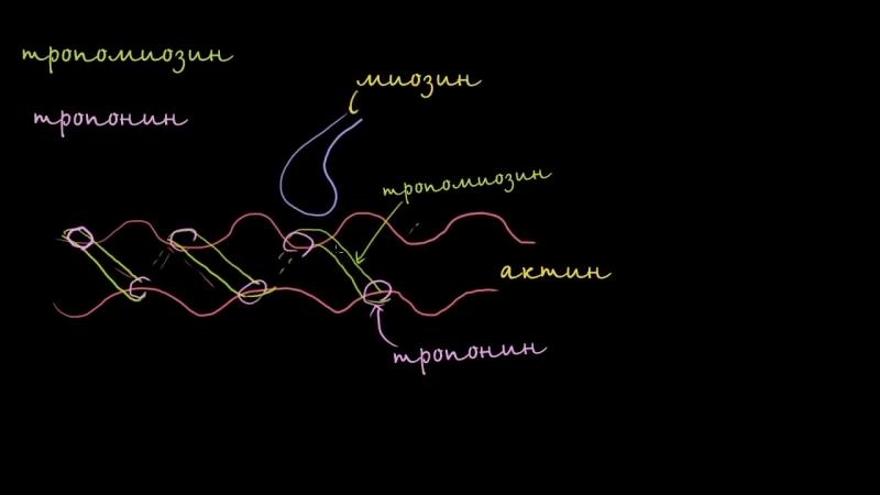 Тропомиозин и тропонин и их роль в управлении сокращением мышц